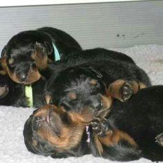 Too cute!  Rottie pups!