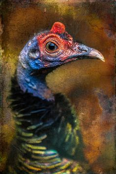 Finer Feathered Friends: Ocellated Turkey | Flickr - Photo Sharing!