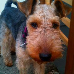 Frankie! Welsh terrier.