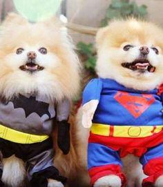 These superhero Pomeranians