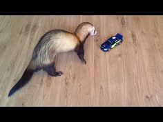 funny ferret and a radio controlled car