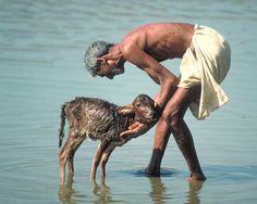 Ritual calf washing, India