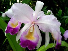 Christmas orchid (Cattleya Trianae) Colombia