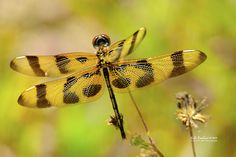 Photograph Dragonfly in Spring by Julie Everhart on 500px