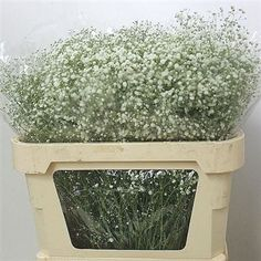 Gypsophila white victoria, also known as Baby's Breath, is a White cut flower - commonly used in the floristry trade to create a softening effect because of the numerous, tiny flower heads on each stem. It is approx. 80cm and wholesaled in Batches of 25 stems.