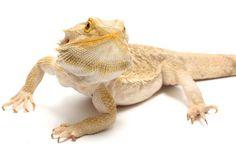 bearded dragon ... my boyfriend wants one of these .... i enjoy them :o)
