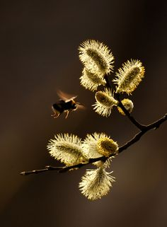 Bee visiting catkins on the first warm day of spring, by Danny Beath