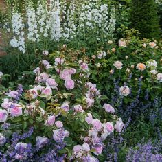 Olivia Rose Austin – David Austin Roses – Famous Last Words Chelsea Flower Show, Beautiful Gardens, Beautiful Flowers, Exotic Flowers, Purple Flowers, David Austin Rosen, Rose Garden Design, Olivia Rose, Shrub Roses