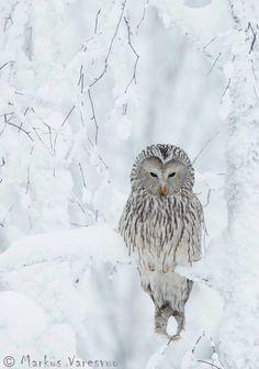 Ural Owl (Stix Uralensis) Resting in Snowy Tree, Kuusamo, Finland Photographic Print by Markus Varesvuo Beautiful Owl, Animals Beautiful, Rapace Diurne, Animals And Pets, Cute Animals, Nature Animals, Photo Animaliere, Snowy Trees, Birch Trees