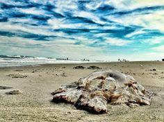 Jellyfish on 37th street beach.  Sea Isle, New Jersey.