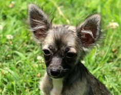 Meet Tiki~2 lbs~, a Petfinder adoptable Chihuahua Dog | Watertown, CT | Tiki is about 5 months old and weighs only about 2 lbs. She will not get much bigger then she is...
