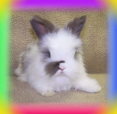 English Angora Rabbits - all kinds of baby bunny goodness. Great for seeing all the different colors that English Angoras come in.