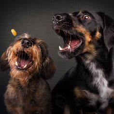 Christian Vieler from Waltrop, Germany, has been a professional dog photographer since He came up with the concept of snapping two dogs catching bites simultaneously. The series of images, issued in September show dogs Pet Dogs, Dogs And Puppies, Dog Cat, Doggies, Silly Dogs, Funny Dogs, Fluffy Animals, Animals And Pets, Funny Dog Images