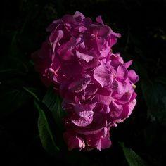2013-07 Hydrangea Sardegna. #toptravelspot #flower #hydrangea #sardegna #italy #mediterranean #instapassport #travelgram #travelling #instatraveling