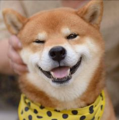 Ryujii the handsome Shiba Inu dog from Japan loves to get pet!