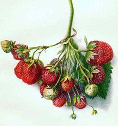 Cardinal Strawberry 1903 USDA Antique Botanical Berry Fruit Lithograph Print