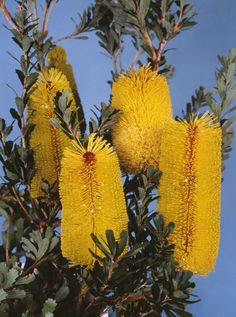 Banksia praemorsa. Banksia praemorsa, commonly known as the cut-leaf banksia, is a species of shrub or tree in the plant genus Banksia. It occurs in a few isolated populations on the south coast of Western Australia between Albany and Cape Riche. #yellow