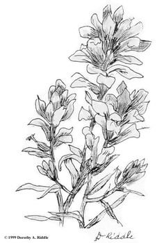 Indian paintbrush outline - Google Search