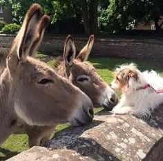 """""""Hello there, fuzzy short donkey!"""" These donkeys are OK with owner's dog. Many dislike dogs. Cute Creatures, Beautiful Creatures, Animals Beautiful, Farm Animals, Animals And Pets, Wild Animals, Cute Donkey, Animal Antics, Animal Magic"""