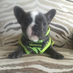 The also known as the is a small breed of domestic dog. were the result in the of a cross between ancestors imported from England and local ratters in Paris (France) Bulldog Pics, French Bulldog Puppies, French Bulldogs, Funny Dogs, Funny Animals, Cute Animals, Bulldog Breeds, My Animal, Dog Gifts