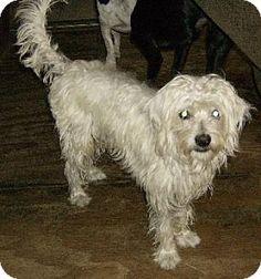Lithia, FL - Maltese Mix. Meet HUNTER, a dog for adoption. http://www.adoptapet.com/pet/16680389-lithia-florida-maltese-mix