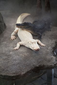Albino Alligator, there use to be one at the Cincinnati Zoo