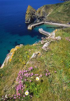 outdoormagic: Coastal flowers on windswept cliffs high above Mullion Cove on the Lizard Peninsula in Cornwall, UK (by ukgardenphotos on Flickr)