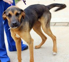 Jasper: Beautiful hound mix available June 21 at high-kill upstate shelter