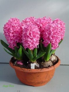 Udělejte to sami - nápady - dubna Hyacinth Plant, Hyacinth Flowers, Gladiolus Flower, Bulb Flowers, Flowers Nature, Spring Flowers, Flower Pots, Knockout Rose Tree, Beautiful Roses