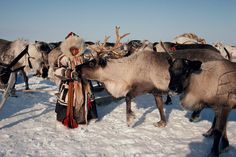 A young Nenets girl in reindeer skin clothes feeds bread to a tame reindeer. Yamal. Siberia. Russia.