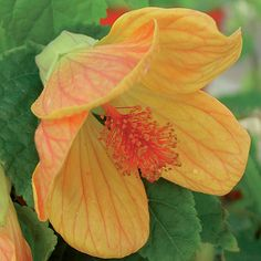 Flowering maple (<em>Abutilon</em> hybrids) - What to Plant in the Shade - Sunset