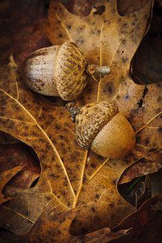 Acorns by Tom Patrick