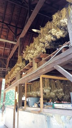 It's one of the best addition to any garden. You will learn here how to grow Garlic, plant garlic and harvest Garlic! Yes, this is all about Garlic! Harvesting Garlic, Wooden Wine Boxes, Overwintering, Organic Cleaning Products, Seed Catalogs, Fall Plants, Garden Beds, Herbs