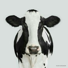 Black and white cow x