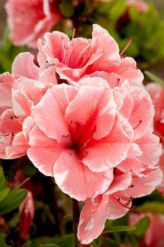 Autumn Sunburst™   Encore® Azalea: The world's best-selling multi-season blooming azalea. Hardy to Zone 6