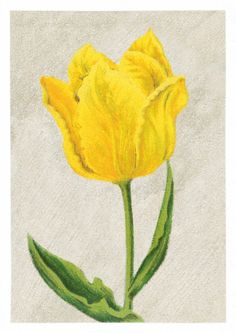 Tulip Mon Tresor  Lovely vintage flower drawing that is now available on canvas. There are 16 different flowers such as tulips, daffodils, hyacint, crocus etc