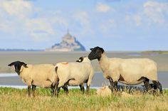 Les moutons de pré-salé ,Grévine, La Baie du Mont Saint-Michel, Le Gué de L'épine, Avranches, France 2010 by Baloulumix, via Flickr