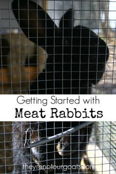 Learn about the basics of starting your own homestead meat supply with rabbits!