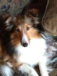 Cute Rough Collie Puppy,