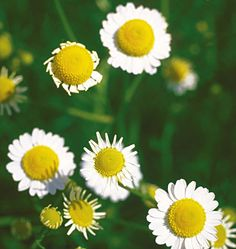 The Top Mood-Boosting Foods in the Garden: Chamomile http://www.rodalenews.com/good-mood-food