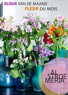 alstroemenia bloem van de maand februari 2017 la fleur du mois de