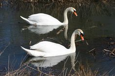 Reflected Beauty of Two Mute Swans by Linda Albonico  Note...the fine art watermark will not show up in your purchased image