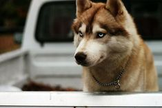 Brown Siberian Husky? NICE! #SiberianHusky