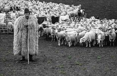 25 Photos Of Sheep Blanketing The Earth Like Snow Baa Baa Black Sheep, Counting Sheep, People Of Interest, The Shepherd, All Gods Creatures, Farm Yard, World Of Color, Belle Photo, Farm Animals