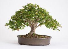 Bonsai Jabuticabeira Myrciaria cauliflora