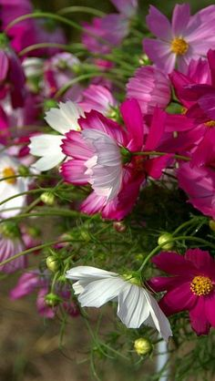 Cosmos; Bright, pure magenta with a touch of warmth; pure, cool white; sprinkle of bright yellow; neutral green.