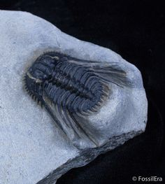 A nicely prepared, spiny, Leonaspis sp. trilobite from Morocco.