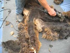 Endless Farms Alpacas: Shearing Videos #alpaca #care #shearing