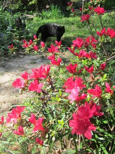 Vampy and his pretty Azaleas.