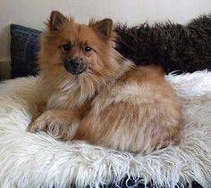The Klein German Spitz is a really old breed of dog descended from Nordic herding dogs that almost certainly came to Europe with the Vikings. German Spitz, German Dogs, Beautiful Dog Breeds, Beautiful Dogs, Baby Puppies, Dogs And Puppies, Doggies, I Love Dogs, Cute Dogs